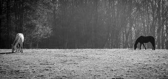 Cavallo in bianco e nero fotografia stock libera da diritti