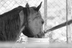 Cavallo in bianco e nero Fotografia Stock