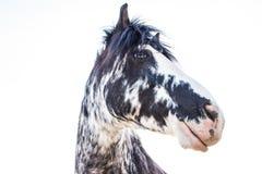 Cavallo in bianco e nero degli occhi azzurri su Sunny Summer Day immagine stock libera da diritti