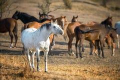 Cavallo bianco ed il suo gregge nella libertà fotografie stock