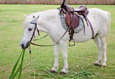 Cavallo bianco grasso in giardino zoologico Immagine Stock Libera da Diritti