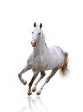 Cavallo bianco isolato Fotografia Stock