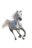 Cavallo bianco isolato immagini stock