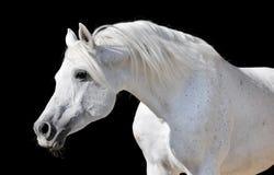 Cavallo bianco isolato sul nero Fotografia Stock Libera da Diritti