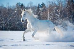 Cavallo bianco libero sul fondo di inverno Fotografie Stock Libere da Diritti