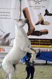 Cavallo bianco Mosca che sbarazza Hall International Horse Exhibition Fotografia Stock