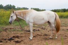 Cavallo bianco nel prato Immagine Stock