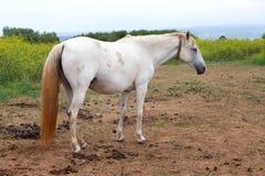 Cavallo bianco nel prato Fotografia Stock Libera da Diritti