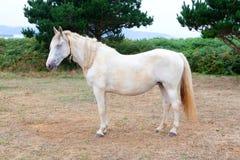 Cavallo bianco nel prato Fotografie Stock