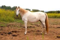 Cavallo bianco nel prato Immagini Stock Libere da Diritti