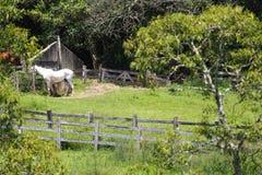 Cavallo bianco nell'azienda agricola Immagine Stock Libera da Diritti