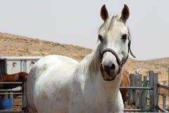 Cavallo bianco nell'azienda agricola dell'alpaga Israele 2017 Fotografia Stock