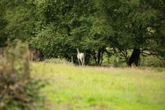 Cavallo bianco nella foresta Fotografia Stock Libera da Diritti