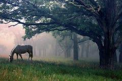 Cavallo bianco nella foschia immagini stock libere da diritti