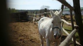 Cavallo bianco nella penna stock footage