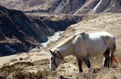 Cavallo bianco nelle montagne del Nepal Fotografie Stock