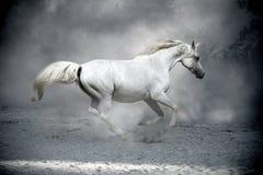 Cavallo bianco in polvere Fotografia Stock Libera da Diritti