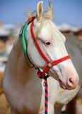 Cavallo bianco a Pushkar giusto nel Ragiastan, India Immagini Stock Libere da Diritti