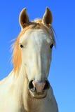 Cavallo bianco selvaggio Fotografia Stock Libera da Diritti