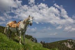 Cavallo bianco su un prato della montagna Fotografie Stock Libere da Diritti