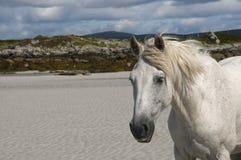 Cavallo bianco su una spiaggia della sabbia Fotografie Stock Libere da Diritti