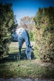 Cavallo bianco sul colpo verde del campo tramite il recinto fotografia stock