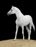 Cavallo bianco sul nero Immagini Stock Libere da Diritti