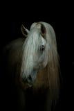 Cavallo bianco sul nero immagine stock libera da diritti