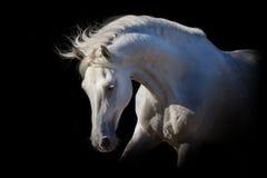 Cavallo bianco sul nero Fotografie Stock Libere da Diritti