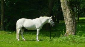 Cavallo bianco sul pascolo video d archivio