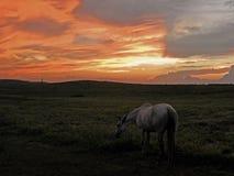 Cavallo bianco sul pascolo al tramonto immagini stock