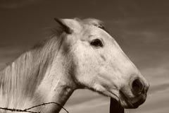 Cavallo bianco superbo Fotografia Stock Libera da Diritti