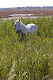 Cavallo bianco tradizionale di Camargue Immagine Stock Libera da Diritti