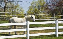 Cavallo bianco in un recinto chiuso Immagini Stock Libere da Diritti