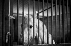 Cavallo bianco in una gabbia Fotografia Stock