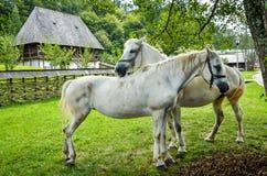 Cavallo bianco in una parte anteriore di un cottage tradizionale Immagine Stock