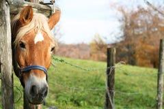 Cavallo biondo Fotografie Stock Libere da Diritti