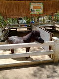 Cavallo breve nello zoo così sveglio Immagini Stock Libere da Diritti