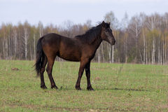 Cavallo (caballus del Equus) Fotografia Stock