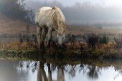 Cavallo Camargue fotografie stock libere da diritti