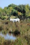 Cavallo in Camargue, Francia fotografia stock libera da diritti
