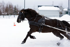 Cavallo canadese nel competiton di inverno Immagini Stock Libere da Diritti