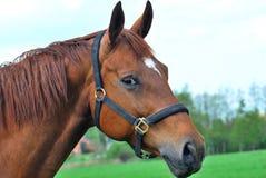 cavallo capo fotografie stock