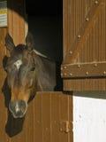 cavallo capo marrone immagini stock
