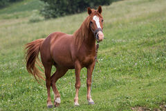 Cavallo in Carpathians Immagini Stock