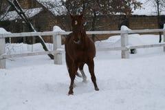 Cavallo castrato rosso con una stella nei giochi della fronte immagini stock