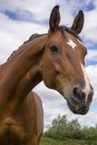 Cavallo che è curioso Immagine Stock Libera da Diritti
