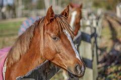 Cavallo che aspetta per essere alimentato fotografie stock libere da diritti