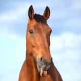 Cavallo che attacca la sua linguetta Immagine Stock