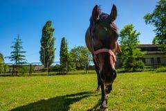 Cavallo che cammina alla prospettiva di sguardo del primo piano della macchina fotografica Fotografie Stock